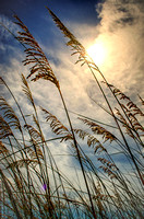 Sea oats in the midday sun